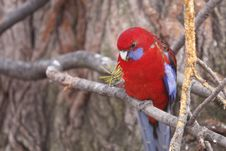Free Eclectus Parrot Royalty Free Stock Images - 18196659