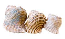 Free Three Conch Shells, Rear View Stock Photo - 18198180