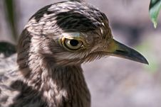 Cape Thick Knee Bird With Missing Feathers Stock Images