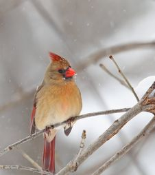 Northern Cardinal, Cardinalis Cardinalis Royalty Free Stock Photo