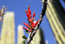 Free Ocotillo Flowers Stock Photo - 18198750