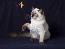 Free Ragdoll Cat Royalty Free Stock Photos - 18199508