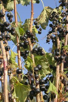 Free Black Currants On Branch Royalty Free Stock Photos - 18199698