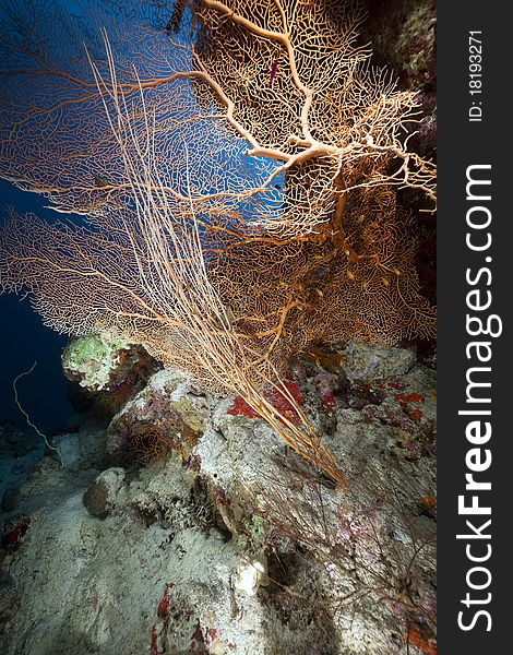 Sea fan, coral and fish in the Red Sea.