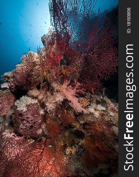 Sea fan in the Red Sea.
