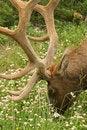 Free Elk Male Royalty Free Stock Photos - 1820378