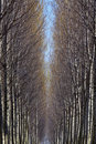Free Poplars Stock Image - 1822521
