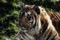 Free Amur Tiger Royalty Free Stock Photos - 1827908