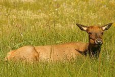 Free Elk Sleeping Royalty Free Stock Photo - 1820205