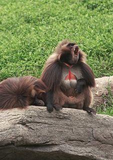 Free Howling Orangutan Stock Images - 1821424