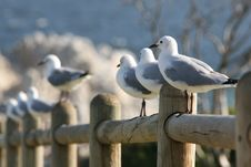 Free Sea Gull Royalty Free Stock Photo - 1823345