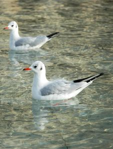 Free White Birds In Clean Water Royalty Free Stock Image - 1823956