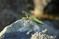 Free Praying Mantis Royalty Free Stock Photos - 1824358