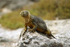 Free Land Iguana Royalty Free Stock Photography - 1824397