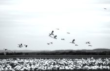 Free Snow Geese Landing In A Field Stock Photography - 1826042