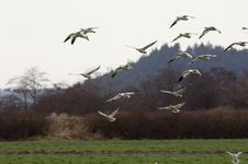 Free Snow Geese Landing In A Field Stock Photos - 1826043