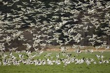Free Snow Geese Landing In A Field Royalty Free Stock Images - 1826049