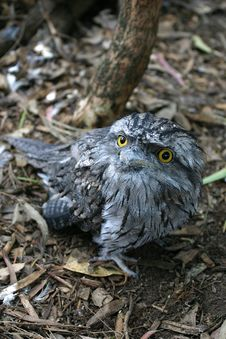 Free Tawny Frogmouth Royalty Free Stock Photography - 1826217