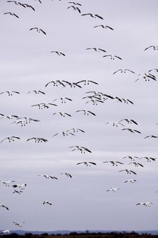 Free Snow Geese In Flight Royalty Free Stock Photos - 1826218