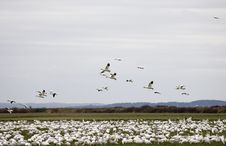 Free Snow Geese In Flight Stock Images - 1826224