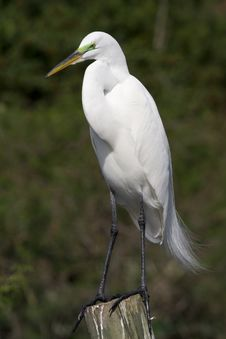 Free Great Egret 3 Royalty Free Stock Photo - 1826285