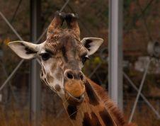 Free Giraffe Royalty Free Stock Image - 1827076