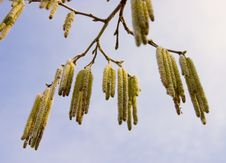 Free Willow Flowers Royalty Free Stock Images - 1827869