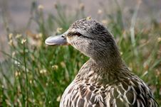 Female Mallard (Anas Platyrhynchos) Royalty Free Stock Photos