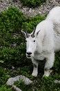 Free Mountain Goat Stock Photo - 18203150