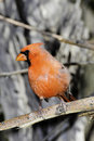 Free Northern Cardinal Stock Photo - 18205430