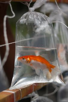 Free Goldfish In A Bag Royalty Free Stock Photo - 18200745