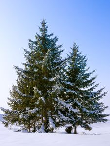 Free Fir Trees Stock Image - 18201251