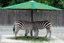 Free Two Zebras Royalty Free Stock Images - 18202739
