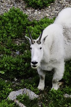 Free Mountain Goat Stock Photo - 18203150