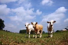 Free Cows Royalty Free Stock Images - 18203509