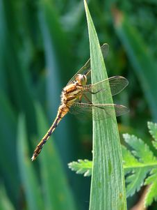 Free Dragonfly Royalty Free Stock Images - 18203859