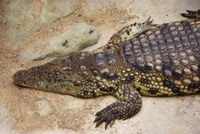 Free Resting Crocodile Royalty Free Stock Photos - 18204568