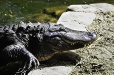 Free American Alligator Stock Images - 18205494