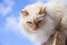 White Cat Portrait Royalty Free Stock Photos