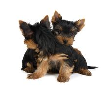 Two Puppies Turning To Each Other S Backs Royalty Free Stock Photography