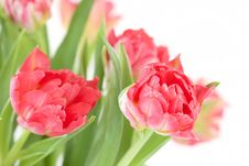 Free Tulips Royalty Free Stock Photos - 18207158