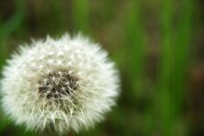 Free White Dandelion Royalty Free Stock Photography - 18207827