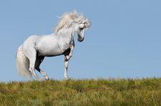 Free White Horse Stallion Portrait Stock Photography - 18209022