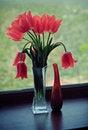Free Tulips Royalty Free Stock Image - 18215086