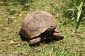 Free African Spurred Tortoise Royalty Free Stock Photography - 18218297