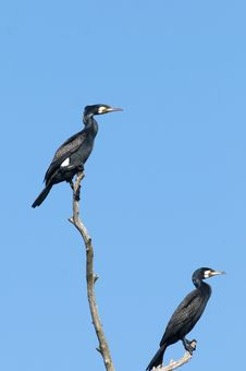 Free Great Cormorants Stock Image - 18212941