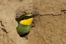 Free Young Bee Eater In Nest Stock Photos - 18213113