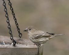 Free Finch Eating At Feeder Royalty Free Stock Images - 18213699