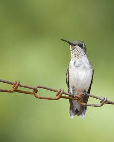 Free Hummingbird Resting On Chain Royalty Free Stock Photos - 18213818