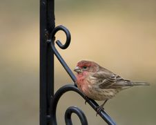 Purple Finch On Iron Pole Royalty Free Stock Photo